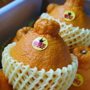 デコポン(肥後ポン) 令和元年度も12月下旬の収穫に向け果皮の色が抜け始めてきました!!