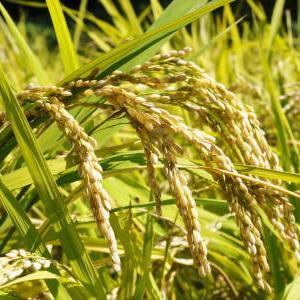 米作りの挑戦(2019) 稲刈りしました!今年は手刈りではなくコンバインで!