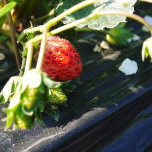 完熟紅ほっぺ 順調に育つ栽培ハウスの様子(2019)と減農薬栽培のこだわり 12月上旬からの出荷です!
