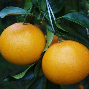 究極の柑橘『せとか』は今年も順調に色づき美味しそうです!ただし収穫及び出荷は2月上旬より!