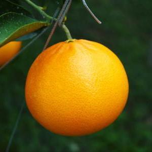 究極の柑橘「せとか」 令和2年も出荷は2月中旬より!収穫まで1ヶ月前の様子を現地取材(前編)