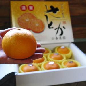 究極の柑橘『せとか』 令和2年の出荷スタート!収穫の様子を現地取材!(後編)