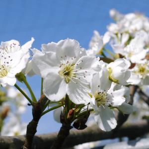 熊本梨 本藤果樹園 花咲く様子!!2020 収穫時期と開花は逆!まずは最後に収穫する『新高』の花です!