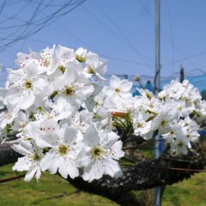 熊本梨 岩永農園 気温の上昇と共に、まずは最後に収穫する新高の花が咲き誇っていました