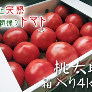 樹上完熟の朝採りトマト 令和2年度の出荷に向け、元気に育つ定植後の様子を現地取材