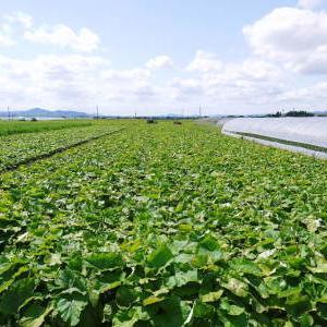 有機栽培の水田ごぼう 令和2年の出荷はGW明けから!栽培方法を変え長期にわたり出荷します!