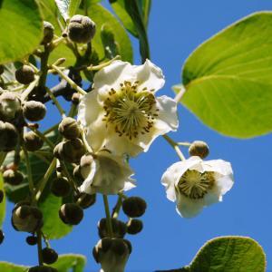 水源キウイ 開花から交配、着果、そして摘果作業の話し(2020年)