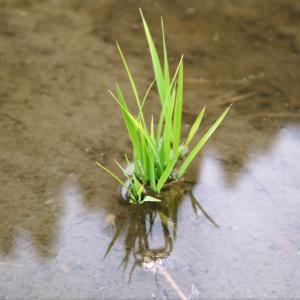 米作りの挑戦(2020) 田植え 今年は昨年よりもさらに10日早い田植えです!(後編)