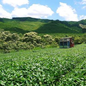 菊池水源茶 令和2年度の茶摘みの様子!こだわりの有機栽培のお茶の茶摘みを取材しました!