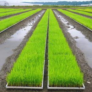 七城米 長尾農園 『長尾さんこだわりのお米(ひのひかり)』は令和2年のも美しすぎる苗床で元気に成長中