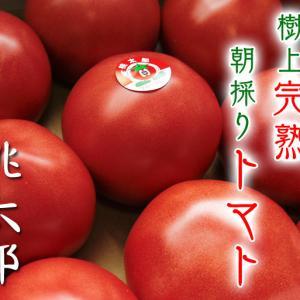 樹上完熟の朝採りトマト 本日より令和2年の予約受付スタートしました!初回出荷は6月23日(火)です!