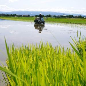 砂田のこだわりれんげ米 田植えの様子(2020) 前編:今年も変わらずれんげを有機肥料にした田んぼです
