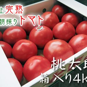 樹上完熟の朝採りトマト 最旬食材!大好評販売中!朝採り収穫の様子を現地取材!