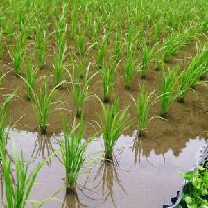 米作りの挑戦(2020) 田植えから1ヶ月が過ぎましたが、大雨で大ピンチです!