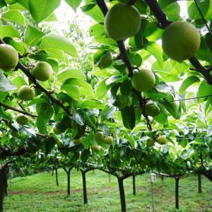 熊本梨 本藤果樹園 今年(令和2年)も熊本限定栽培品種の梨『秋麗』が順調に育ってます!