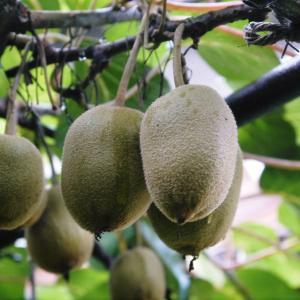 水源キウイ 今年(令和2年)も完全無農薬で育ててます!雨にも負けず元気に育ています!