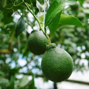 デコポン(肥後ポン) 摘果&玉吊り作業後の成長の様子を現地取材(2020)