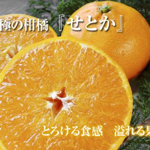究極の柑橘『せとか』 令和2年度の収穫に向け今年も順調に成長中!着果後の様子を現地取材