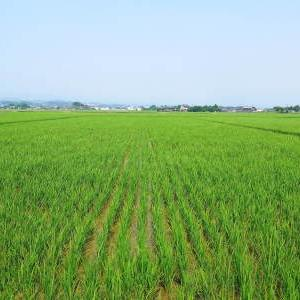 熊本県菊池市七城町『砂田のこだわりれんげ米』 今年も元気に成長中!成長の様子2020