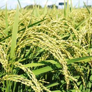 """砂田のこだわりれんげ米 順調に色づき始め頭を垂れてきています!今年は無農薬ではなく""""減農薬栽培""""です!"""