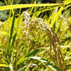 米作りの挑戦(2020) 稲刈りの様子!今年の問題点と来年へむけての課題!(後編)