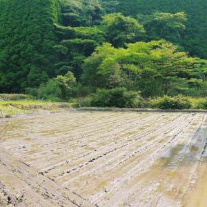 米作りの挑戦(2021) 田植え 6月9日に田植えを終えました!(後編:田植えと補植)