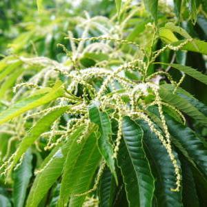 利平栗 熊本県菊池市菊池水源で今年も農薬や化学肥料を一切使わず育てます!花から着果へ!(2021)