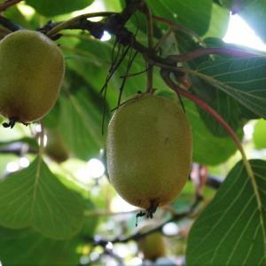 水源キウイ ゴールド種はかなり順調!グリーン種はちょっとピンチ!摘果作業で大きく甘く育てます!