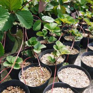 完熟紅ほっぺ この時期、苗床でこの秋定植する苗を作ります!そのために毎日行う潅水作業の話