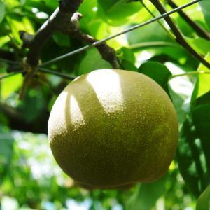 熊本梨 本藤果樹園 今年(令和3年)も元気に育つ梨園の様子!樹上完熟にこだわりお届けします!!
