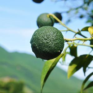 香り高き柚子(ゆず) 令和3年の青柚子の出荷予定と現在の様子 今のうち青唐辛子を購入しておいて下さい