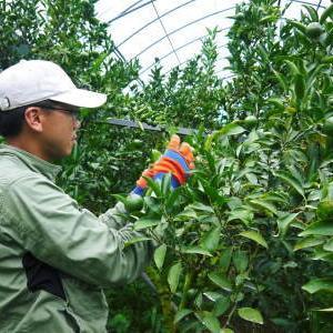 究極の柑橘『せとか』 美味しくて甘く、大きな果実を作り上げるための匠の摘果作業(2021)