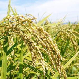 砂田米 花から頭を垂れ始めるまで!今年も順調に黄金色に色づき始めました! 令和3年度も減農薬栽培です!