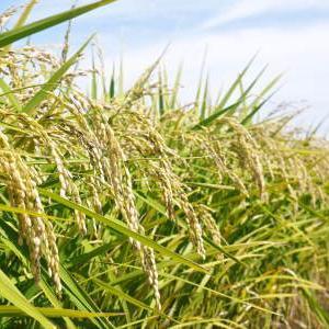 七城米 長尾農園 令和3年も美しすぎる田んぼで稲穂が頭を垂れ始めました!稲刈りは10月中旬です!
