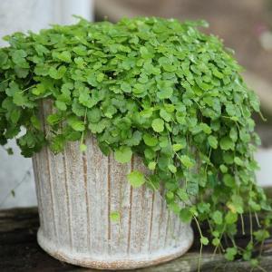 雨が続きお花や寄せ植えが痛んだりしてませんか?植え替えてみましょう~~