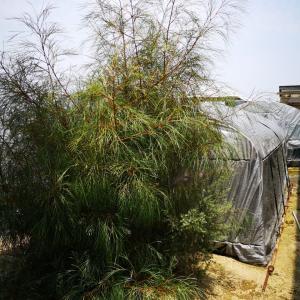 人気のオーストラリア植物3種入荷