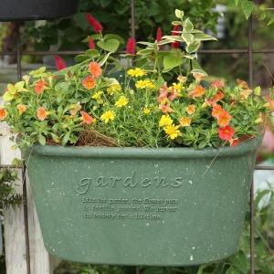 ダールベルグデージー・シューティングスター 可愛いお花です!