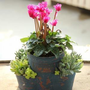 ガーデンシクラメンのピンク花は素敵です♪♪
