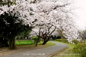『 水城公園の桜 』  ( 彩の国・行田市 )