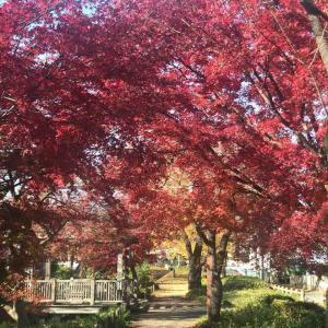 根川緑道の紅葉