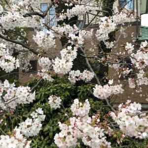 今年の立川の桜