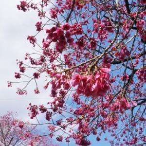サクラサク~台湾緋桜~