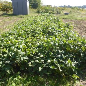 黒豆、ニンニクの草取り