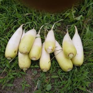 ダイコン、ジャガイモ収穫