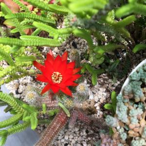 ミニサボテン初の開花