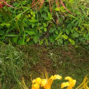 彼岸花とリコリス オーレア