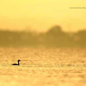 早朝の湖畔その2~カンムリカイツブリ