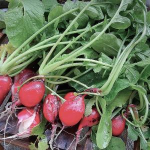 『収穫野菜でうちごはん♪』 おうちごはん No.343