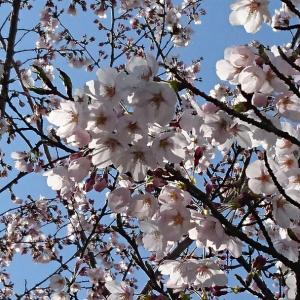 職場の桜が満開です♪ Cherry blossoms