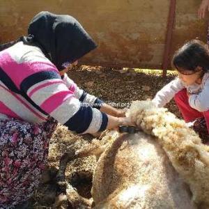 羊の毛を刈る